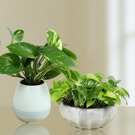 Online Money Plants UAE
