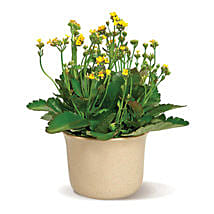 Charming Kalanchoe: Send Gifts to Montreal