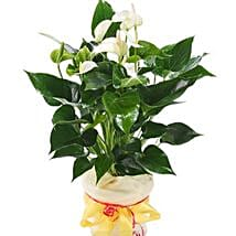 White Anthurium Pot