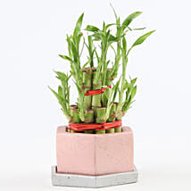 2 Layer Bamboo In Hexafun Concrete Pot With Tray: New Arrived Plants