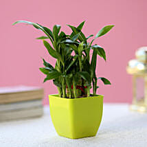 2 Layer Bamboo Plant In Green Melamine Pot: Lucky Bamboo Plants
