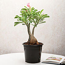 Adenium Desert Rose: Flowering Plants