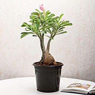 Adenium Desert Rose: Cactus and Succulents Plants