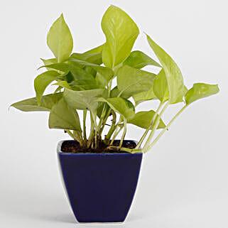 Adorable Money Plant: Spiritual Plant