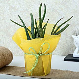 Amazing Aloe Vera Plant: Medicinal Plant