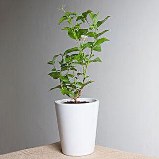 Beautiful Jasmine Plant: Flowering Plants