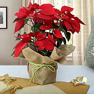 Beautiful Poinsettia Plant: Christmas Gifts