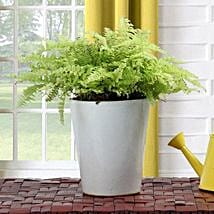 Boston Fern Potted Plant: