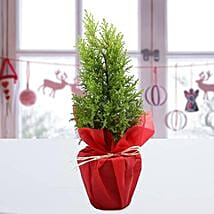 Cyprus Greenery Plant: Christmas Gifts for Her