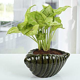 Dark green Shell Syngonium Plant: Living Room Plants