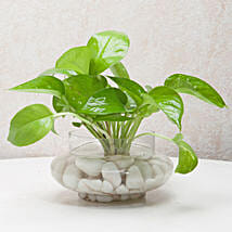 Divine Money Plant Terrarium: Terrariums Plants