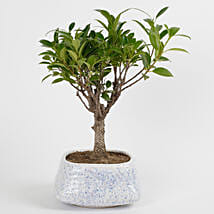 Evergreen Ficus Ball Shaped Bonsai Plant: Plants to Lucknow