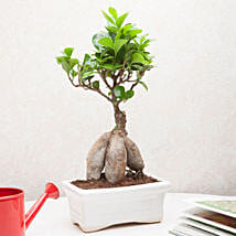 Exotic Ficus Bonsai Plant: Plants for House Warming