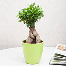 Exotic Ficus Ginseng Bonsai Plant: Best Outdoor Plant