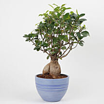 Ficus Microcarpa Bonsai Plant in Recycled Plastic Pot: Bathroom Plants