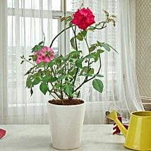 Fragrant Rose Plant: Send Plants for Anniversary