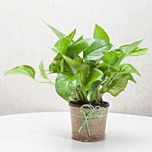 Gift Money Plant for Prosperity: Send Plants to Dehradun