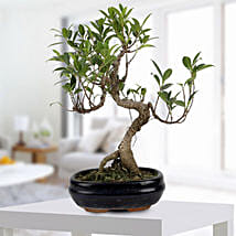 Gorgeous Ficus S shaped Plant: Home Decor for House Warming