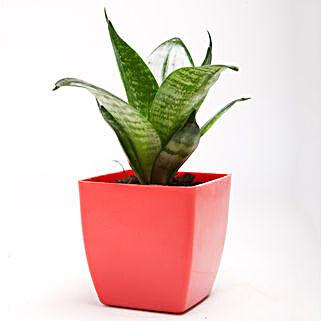 Green Sansevieria Plant in Red Plastic Pot: Spiritual Plant