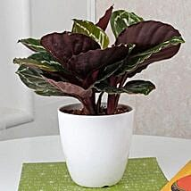 Home Decor Croton Plant: Exotic Plant Gifts