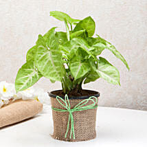 Hue of Green Syngonium Plant: Send Plants for Mothers Day