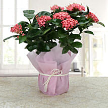 Ixora Blooms: Send Plants to Dehradun