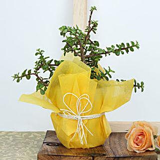 Jade Plant Beauty: Send Diwali Gifts for Kids
