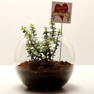 Jade Plant For Best Wife: Buy Indoor Plants