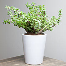 Lively Jade Plant: Plants for birthday
