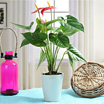 Lovely Anthurium Plant: Ornamental Plants