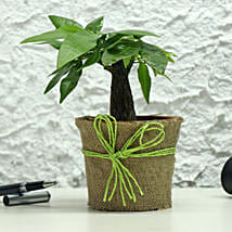 Lucky Money Tree: Plants for House Warming