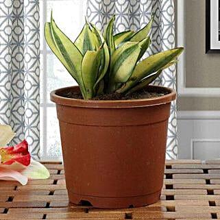 Lush Green Sansevieria Plant: Housewarming Gifts