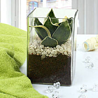 MILT Sansevieria Indoor Plant Terrarium: Terrariums Plants