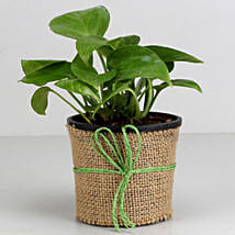 Money Plant in Black Plastic Pot: Plants to Hyderabad