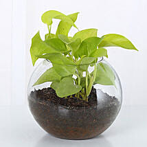 Money Plant Terrarium: Send Plants for Mothers Day