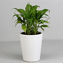 Peace Lily Plant in White Ceramic Pot: Plants - Same Day Delivery