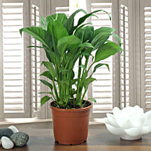 Peace Lily Plant: Herbal and Kitchen Plants