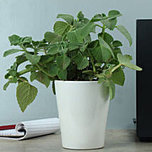 Potted Ajwain Plant: Good Luck Plants for Anniversary