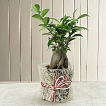 Potted Ficus Bonsai Plant: Send Plants for House Warming