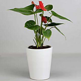 Red Anthurium Plant in White Ceramic Pot: Plants to Kolkata