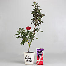 Red Rose Plant with Dairy Milk Silk Chocolates: Rose Plants