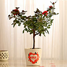 Rose Plant In Heart Print Ceramic Pot: Rose Plant Gifts