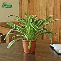 Spider Plant: Diwali Gifts for Sister