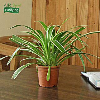 Spider Plant: Send Diwali Gifts for Teacher