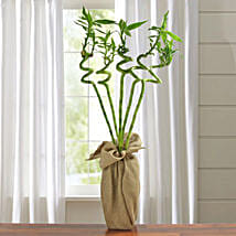 Spiral Lucky Bamboo Plant: Send Plants for House Warming