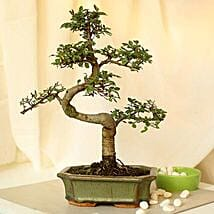 Thoughtful Elm S Shape Bonsai Plant: