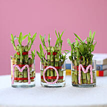 Three Lucky Bamboo Plants For Mom: Send Plants to Indore