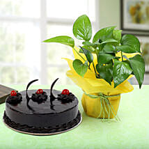 Truffle Cake With Money Plant: Send Plants for Anniversary