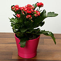 Pink Kalanchoe Plant in Pink pot: Birthday Gift Delivery in UAE