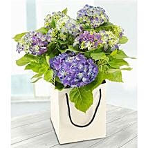 Blue Hydrangea: Plant Delivery in UK